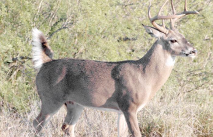 Denuncian caza indiscriminada de venado en Tamaulipas