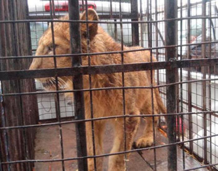 Rescatan a león; lo trasladan a La Pastora