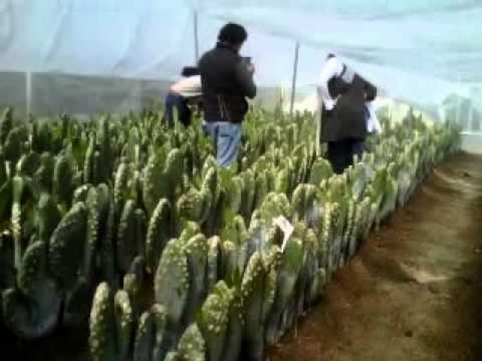 Diseñan tecnología para producir nopal en temporada invernal