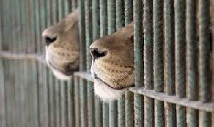 "Sacrificarán a más de cuatro mil animales que antes vivían en circos ""Gracias al partido Verde Ecologista"""