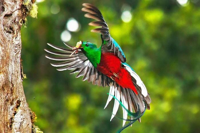 El quetzal, animal mesoamericano a punto de extinguirse