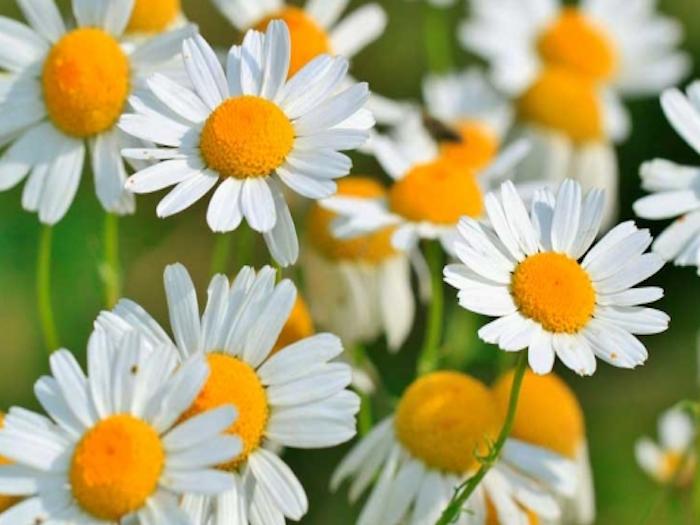 5 maravillosos usos de la manzanilla