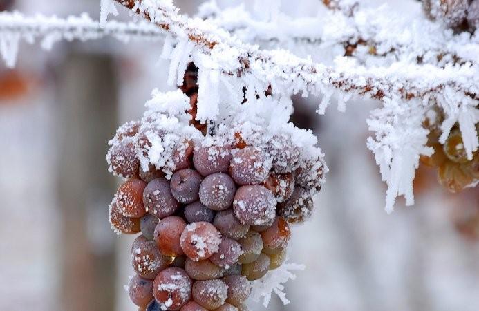 """El curioso caso del """"vino de hielo"""""""