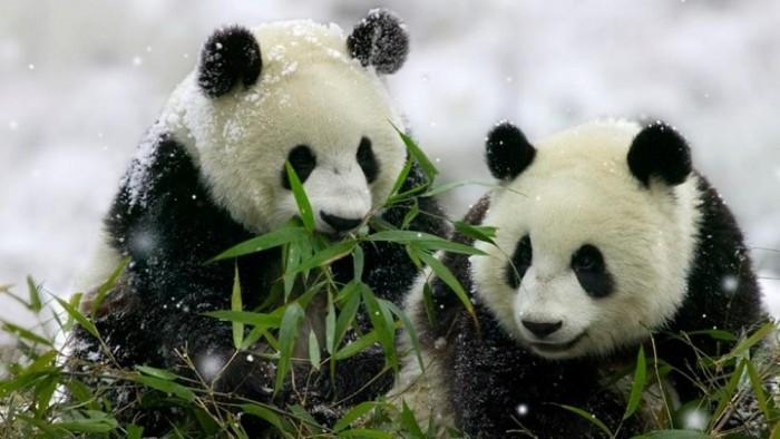 osos-panda-curiosidades