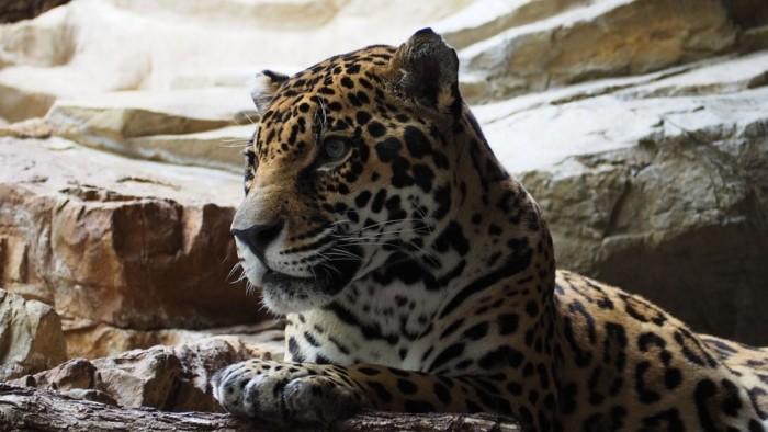 Matan a jaguar en Tulum