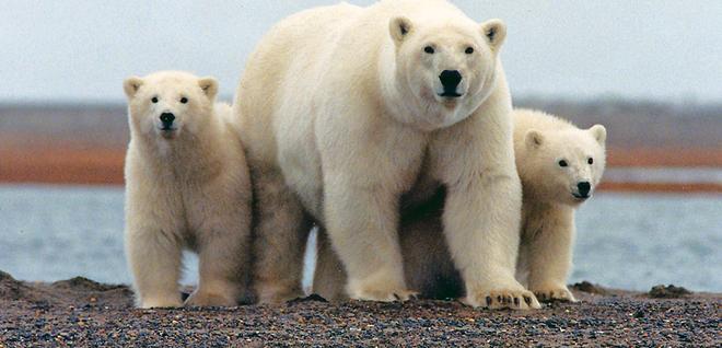 Invasión de osos polares pone en estado de Emergencia a poblado ruso
