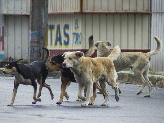 Propone diputada de Morena eliminar perros callejeros por molestos y riesgosos