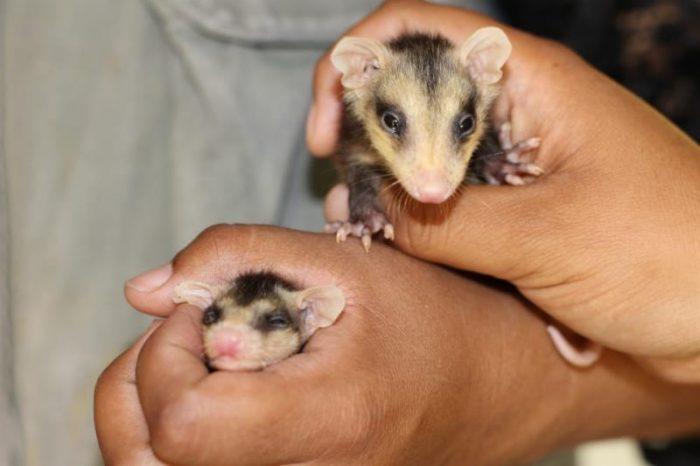 Policía Ambiental y Museo del Desierto rescatan tlacuaches bebés