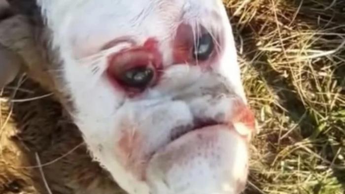 Nace un ternero en Argentina con un rostro parecido al del ser humano