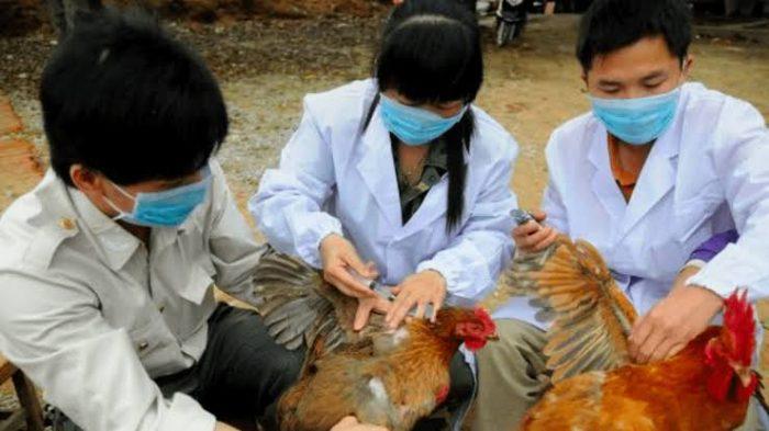 China detecta un brote de gripe aviar en medio de la lucha contra el coronavirus de Wuhan