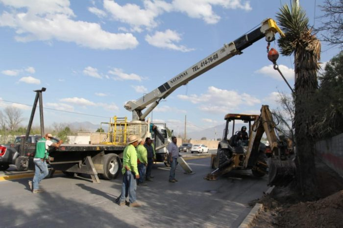 Trasladarán palmas Yucca por obras en bulevar Los Valdez
