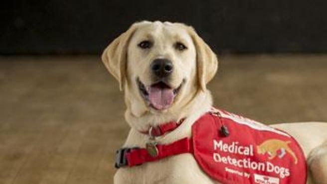 Entrenan perros para detectar personas con Covid-19