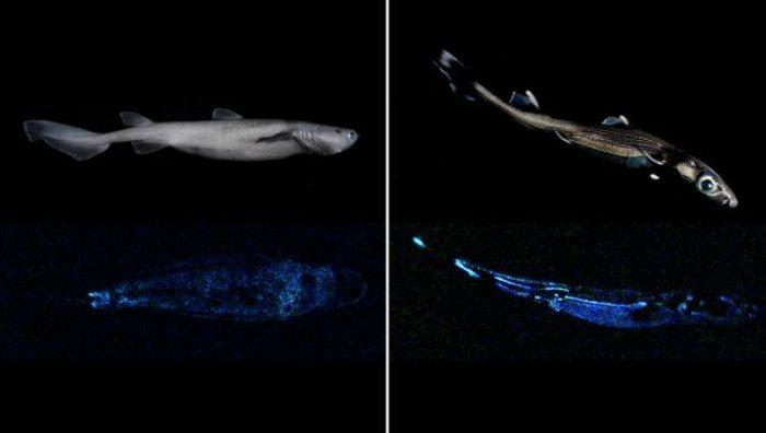 Descubren tiburón que brilla en la oscuridad; es el más grande del mundo