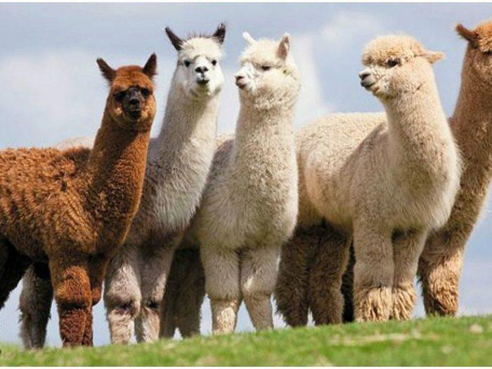 Anticuerpos de alpacas podrían combatir variantes del Covid-19