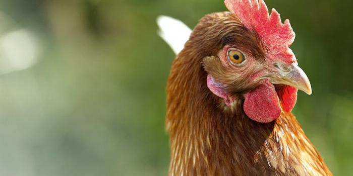 El ADN de gallina, el secreto para detener los contagios de Covid-19