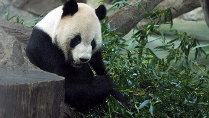 Muere Xinxing, la panda más longeva del mundo