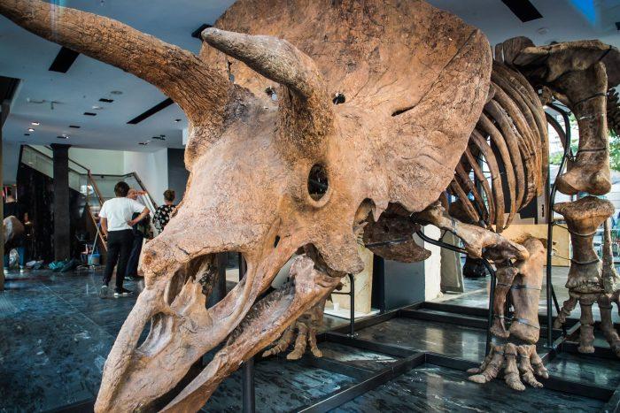 El esqueleto del triceratops 'Big John', el mayor conocido, se exhibe en París antes de ser subastado